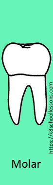 Tooth Structure for Kids - Molars
