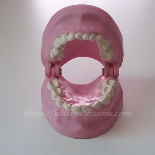 Tooth Structure for kids - An Artificial set of Primary Teeth