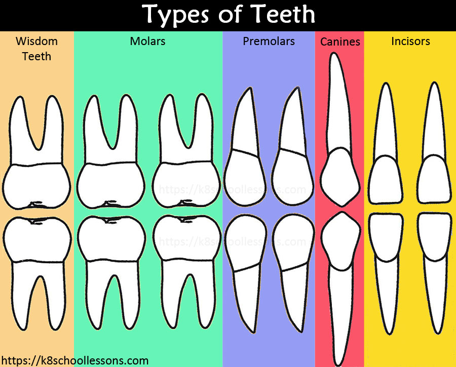 Tooth Structure for Kids - Types of Teeth Chart