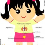 Human Urinary System Human Urinary System