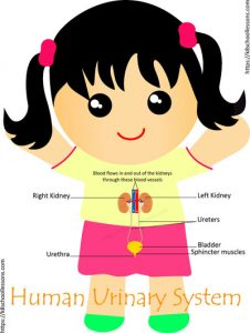 Key Stage Two Human Urinary System