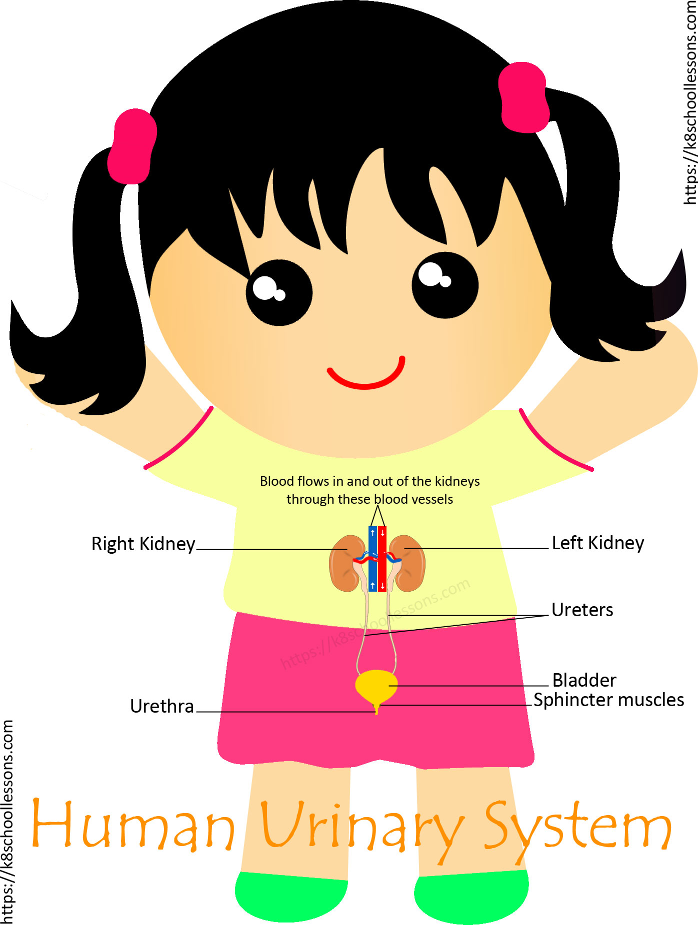 Urinary System For Kids Human Urinary System Human Body Facts