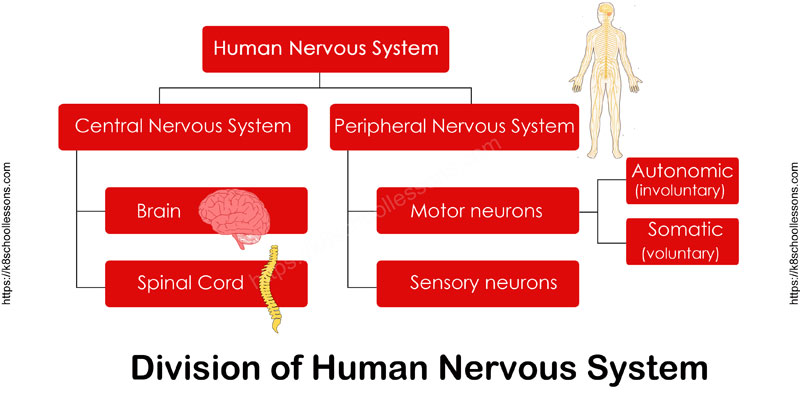 division of nervous system