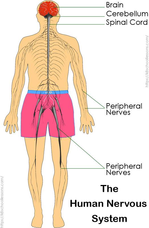 Human Nervous System for Kids