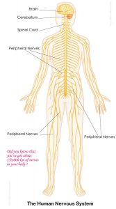 Human Nervous System for Kids