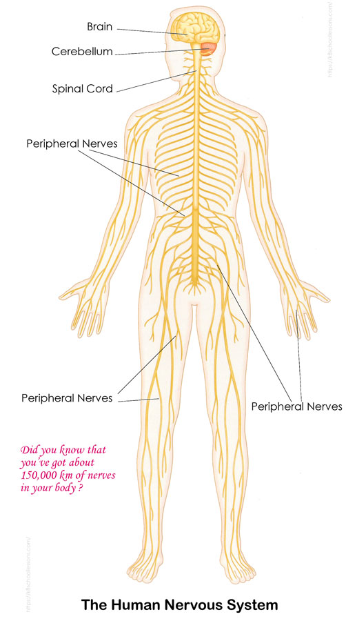 Human Nervous System For Kids Nervous System Facts For Kids