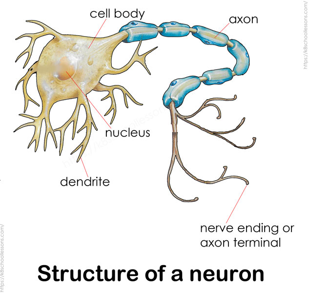 Human Nervous System for Kids - structure of a neuron