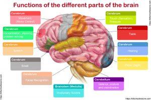 Human Brain Human Brain