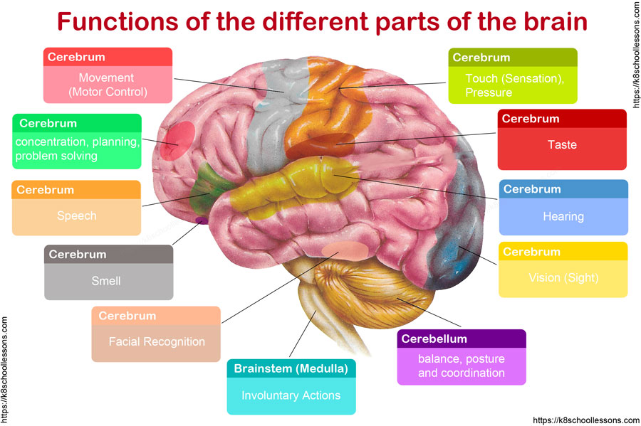 Functions of Brain