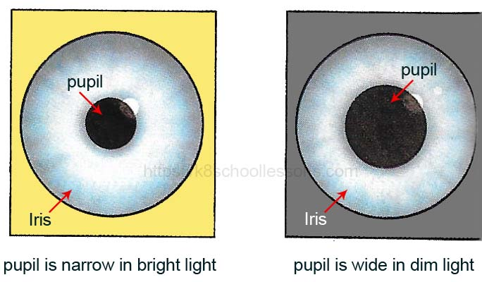 Reflex actions examples - Eye pupil reflex in bright and dim light