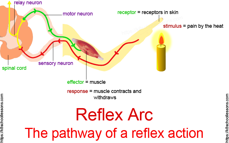 The pathway of a reflex action