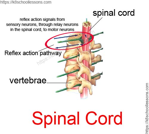 Reflex actions through spinal cord