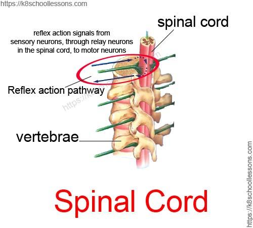 Reflex actions through spinal cord