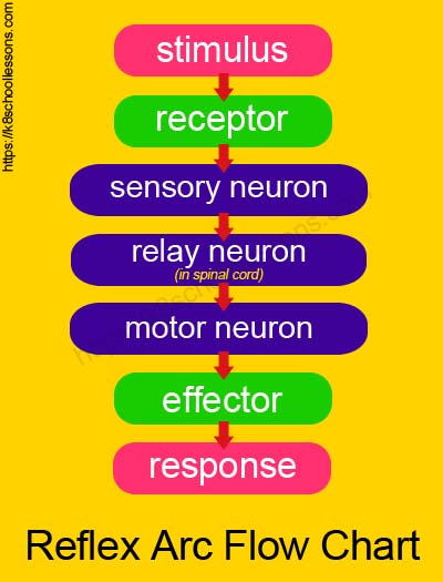 Reflex Actions Reflexes And Reactions Human Brain Facts