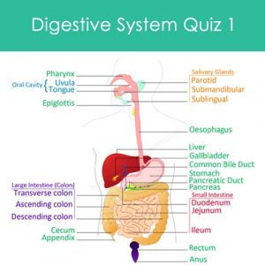 Digestive System Quiz 1 Digestive System Quiz 1