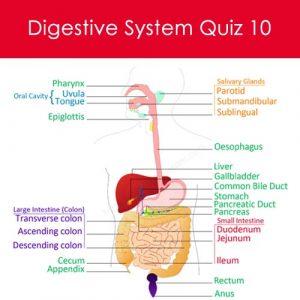 Digestive System Quiz 10 Digestive System Quiz 10