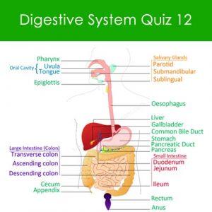 Digestive System Quiz 12 Digestive System Quiz 12