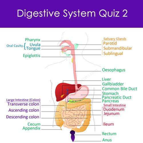 Digestive System Quiz 2