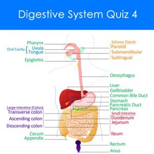 Digestive System Quiz 4 Digestive System Quiz 4