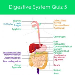 Digestive System Quiz 5 Digestive System Quiz 5