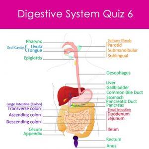 Digestive System Quiz 6 Digestive System Quiz 6