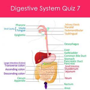 Digestive System Quiz 7 Digestive System Quiz 7