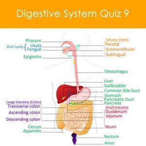Digestive System Quiz 9 Digestive System Quiz 9