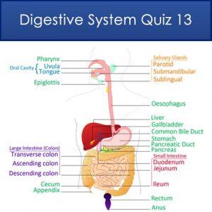 Digestive System Quiz 13 Digestive System Quiz 13