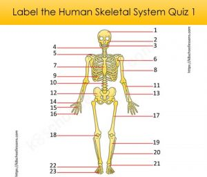 Label Human Skeletal System Quiz 1 Label Human Skeletal System Quiz 1