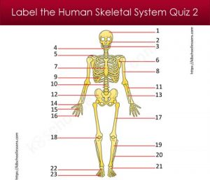 Label Human Skeletal System Quiz 2 Label Human Skeletal System Quiz 2