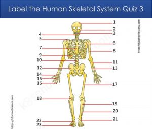 Label Human Skeletal System Quiz 3 Label Human Skeletal System Quiz 3