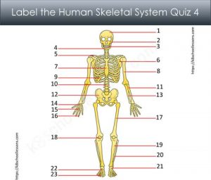 Label Human Skeletal System Quiz 4 Label Human Skeletal System Quiz 4